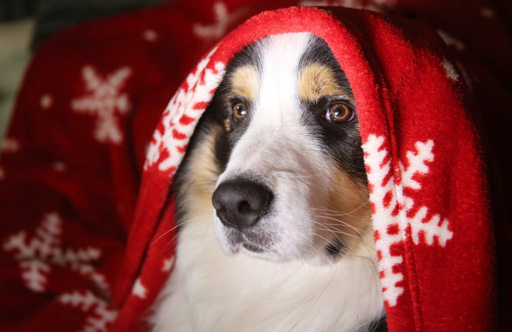 Christmas dog hiding under blanket